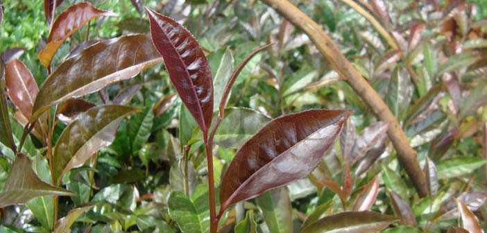 Рок-зірка чайної індустрії - Пурпурний чай