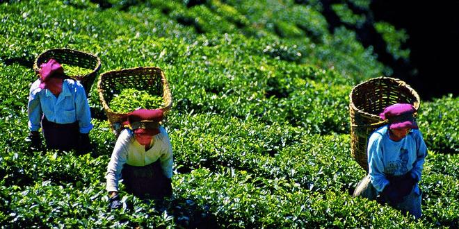 Дарджилинг, чай, любовь